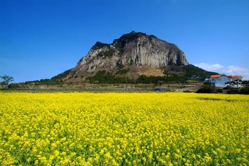 jeju-island-sanbangsan-canola-flowers