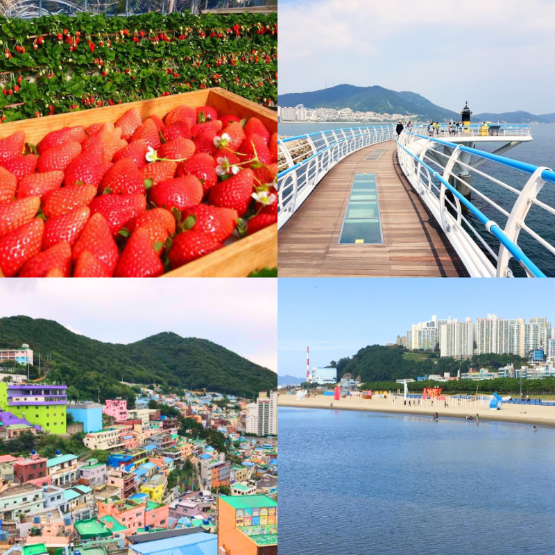 UP TO 11%, Busan Strawberry Picking Farm, Songdo Skywalk, Gamcheon Culture Village, Dadaepo Beach 1Day Shuttle Tour (~May 18, From Busan) | KoreaTravelEasy