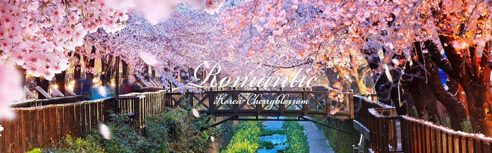 Enjoy Cherry Blossom in Korea