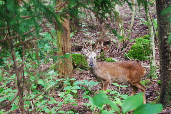 Saryeoni-Forest-Path-deer-animal-jeju-island