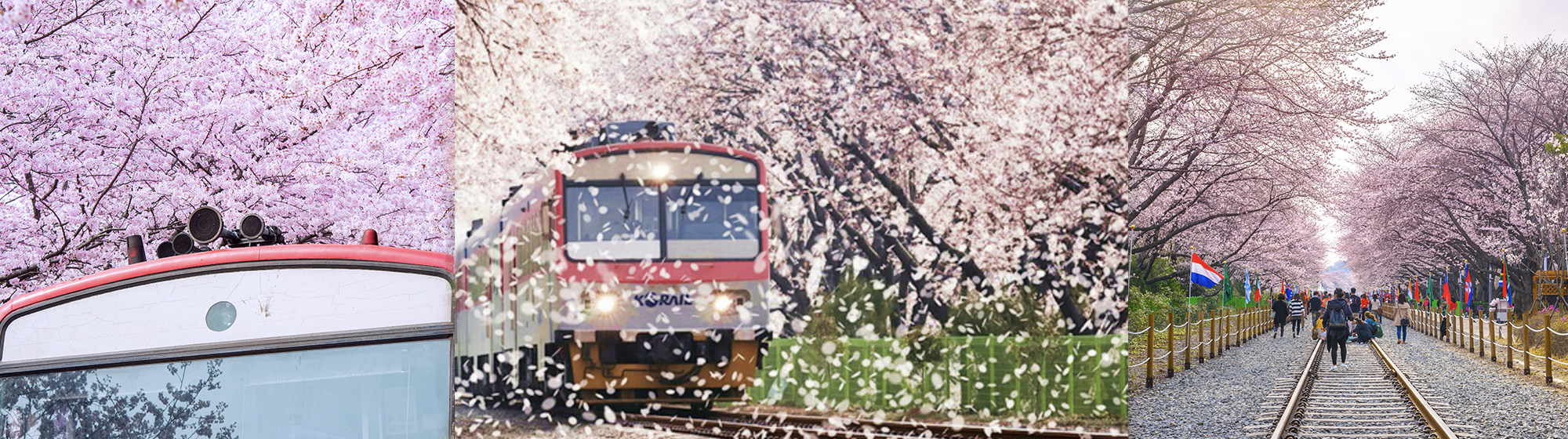 2020 Jinhae Cherry Blossom Festival 1Day Shuttle Bus Package Tour – From Busan (Mar 27 – Apr 6) | KoreaTravelEasy