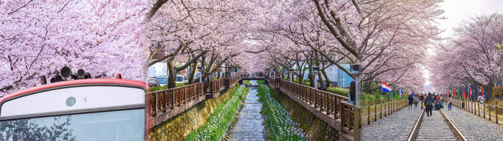 UP TO 24%, 2019 Korea Jinhae Cherry Blossom Festival  1Day shuttle bus package tour (From Seoul Mar 27 – Apr 7) | KoreaTravelEasy
