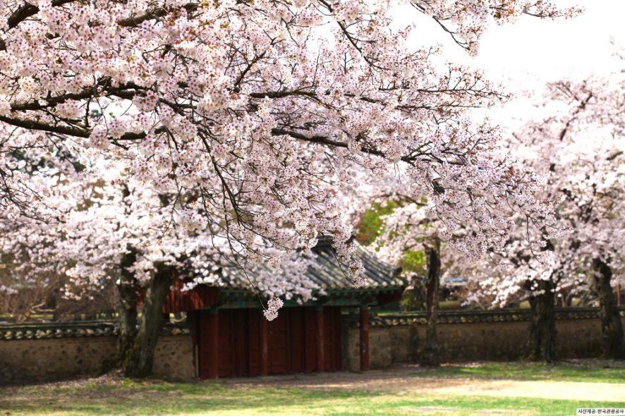 2019 Gyeongju Cherry Blossom Festival 1 Day Shuttle Bus Package Tour From Busan Mar 30th Apr