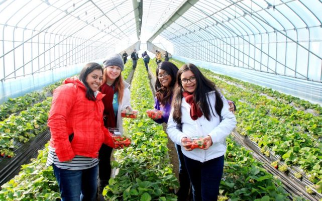 Strawberry Picking in korea winter