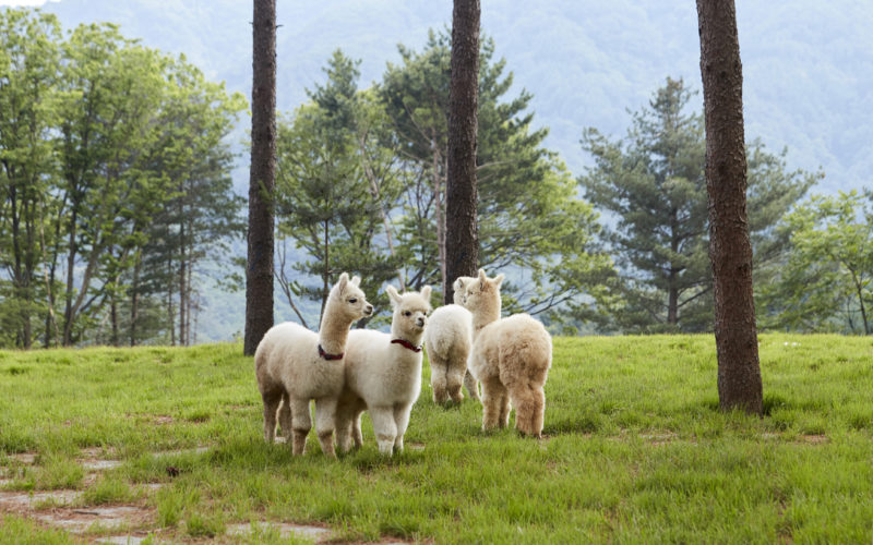 alpacas in nature