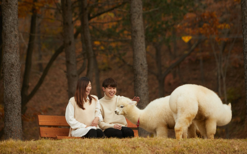 alpaca world couple autumn scenery