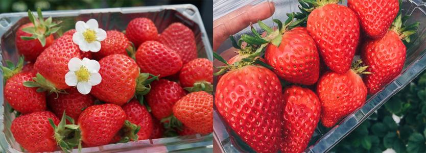 strawberry picking in korea
