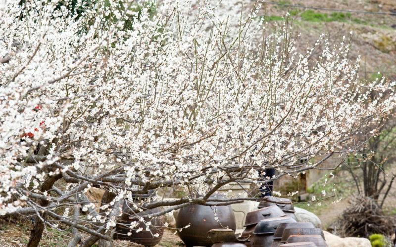 maehwa plum blossom village