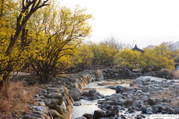 sansuyu flower on stream bank