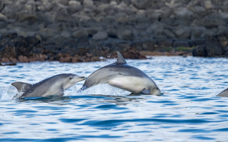 jeju two dolphins playing