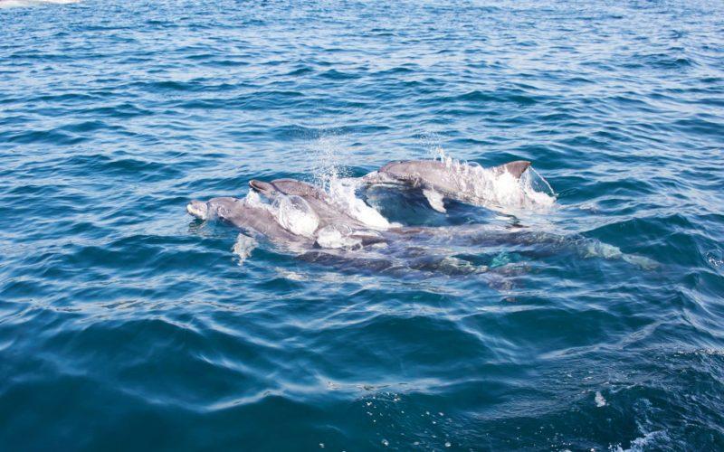 jeju three dolphins swimming