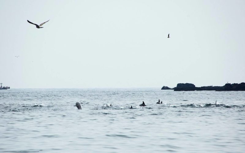 jeju dolphins playing from afar