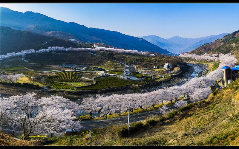 Hadong Cherry Blossom Panorama
