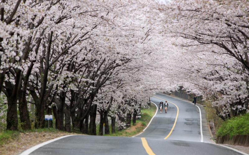 Hwagae Cherry Blossom Road uphill