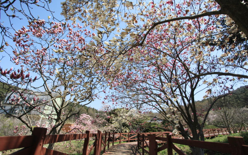 different types magnolias cheollipo
