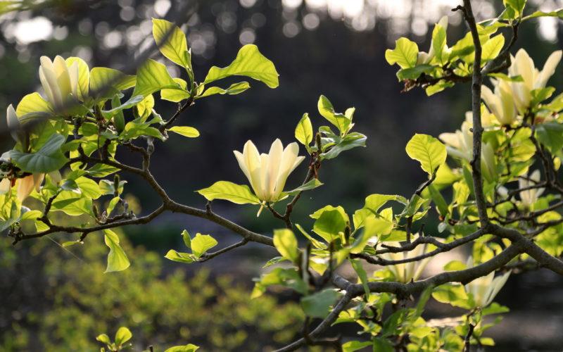 Magnolia at Cheollipo Arboretum
