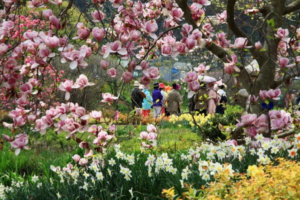 magnolia daffodils cheollipo