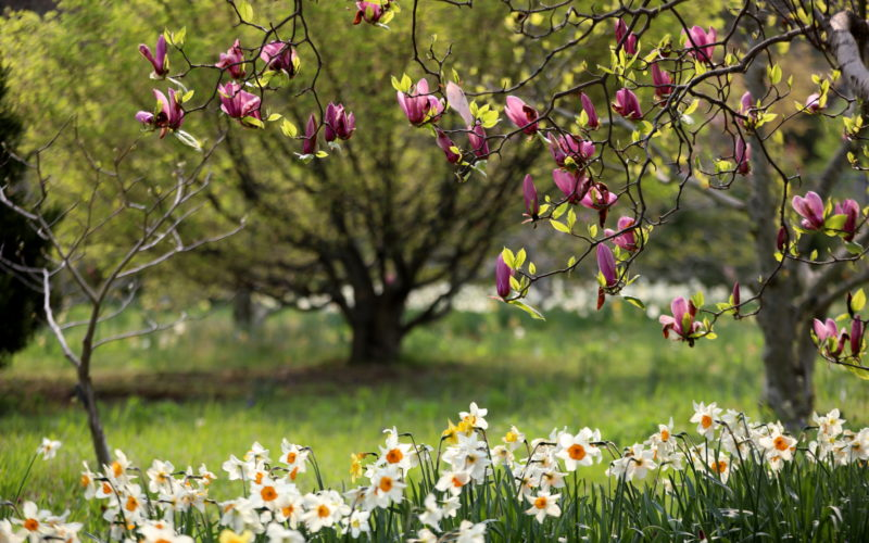 magnolias and daffodils