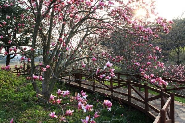 pink magnolia bridge at Cheollipo Arboretum