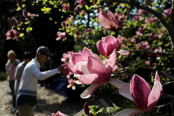 purple magnolias zoomin