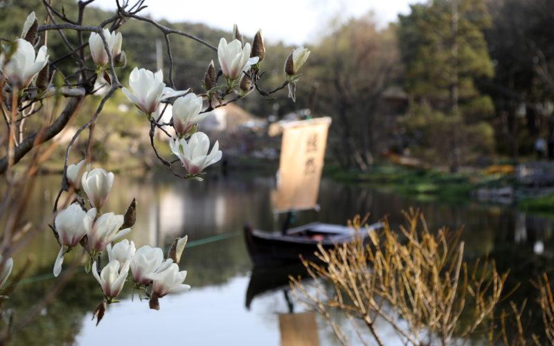 Scenery of magnolia at Cheollipo Arboretum