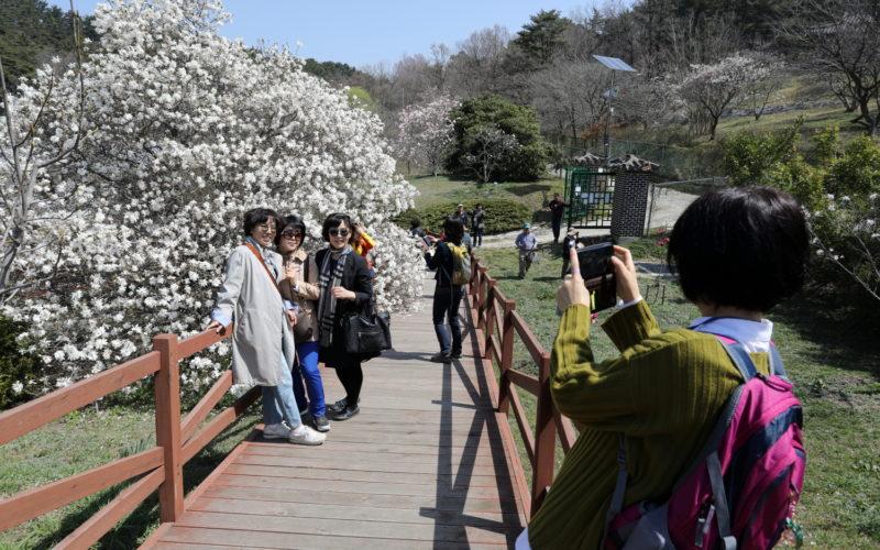 taking photos with white magnolia