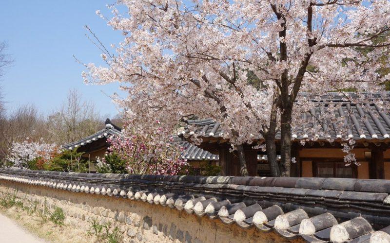 Jeonju hanok village cherry blossom