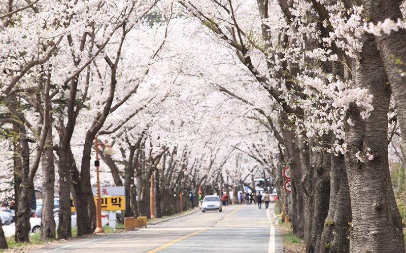 Maisan cherry blossom