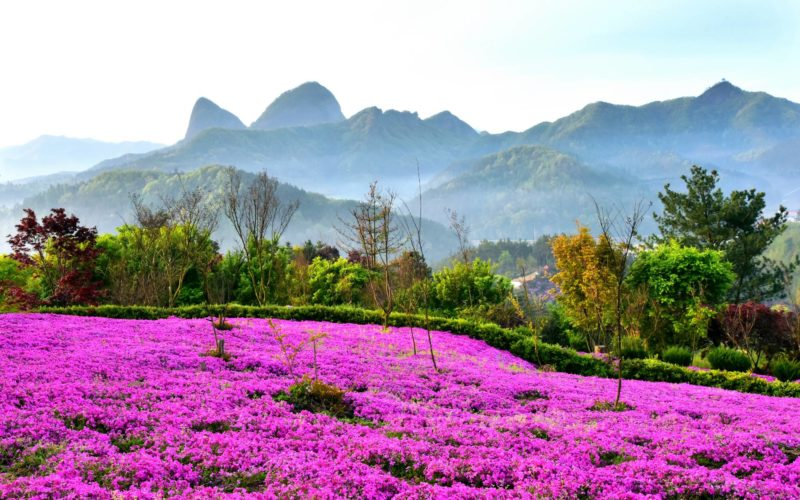 maisan spring flowers