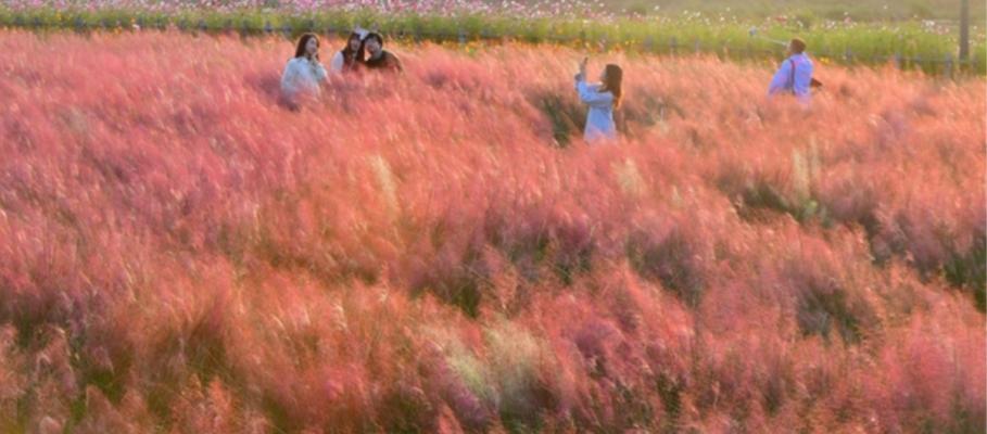pyeonggang land pink muhly