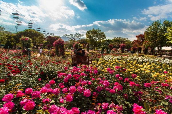 seoul rose festival2