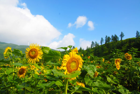sunflower festival in korea gangwondo