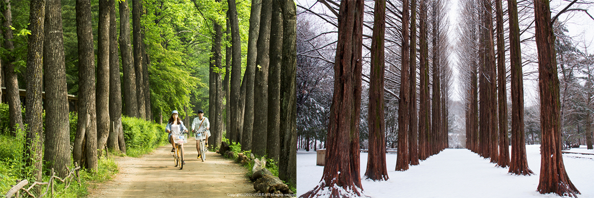 Nami Island Pine Tree Summer and Winter
